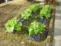 学校の畑(白菜)